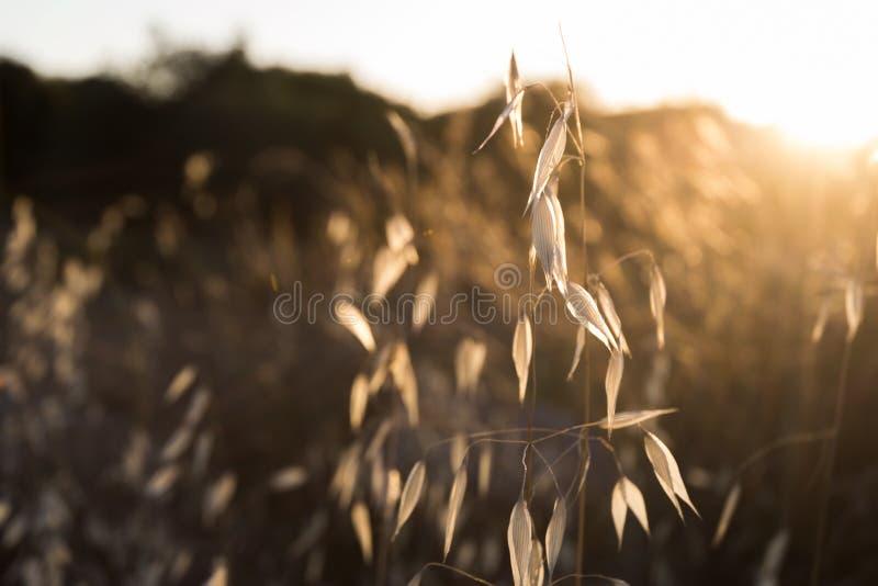 Golden Stalk royalty free stock photography