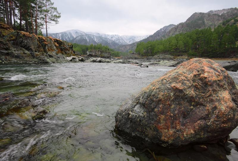 `Golden` stone on the Bank of Katun. Stone block of Golden color in the green waters of a mountain river. Trees and pine trees on the steep banks, snow-capped royalty free stock photo