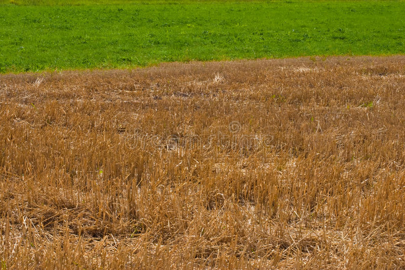 Golden straw and green grass stock photography