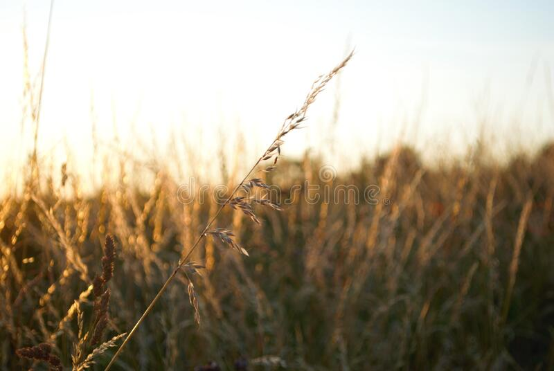 Summer Grasses in a field royalty free stock image