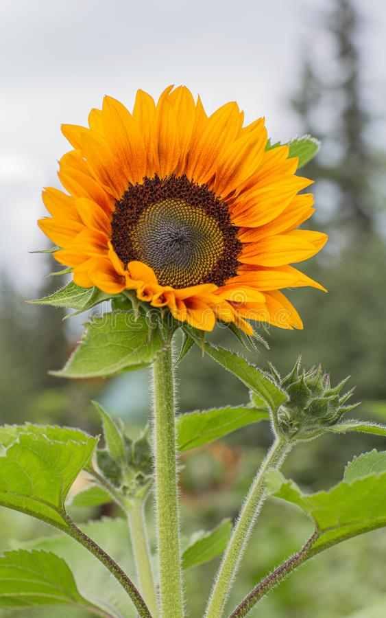 Golden Sunflower in Bloom. Except for three species in South America, all Helianthus species are native to North America and Central America. The common name, ` royalty free stock photo