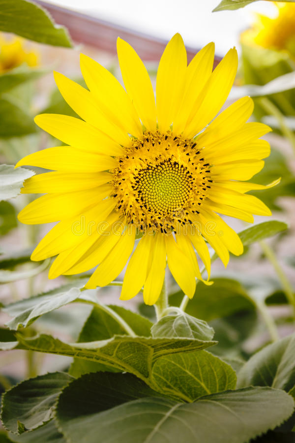 Golden Sunflower royalty free stock photography