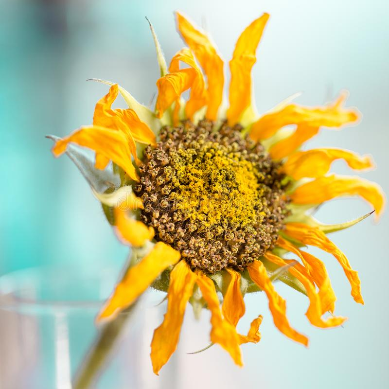 Golden sunflower covered in pollen royalty free stock photo