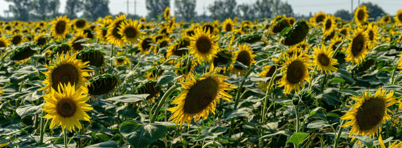 Golden sunflower field in sunset sunshine. Summer flower landscape. Fresh wallpaper and nature  concept for background stock photography