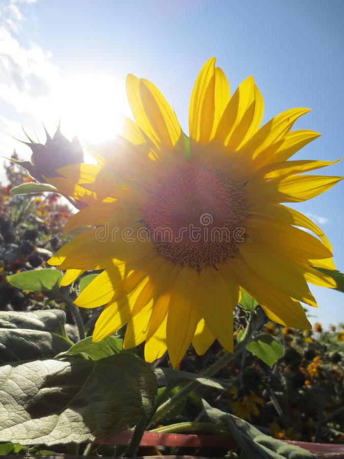 Sunflower back to the sun royalty free stock photo