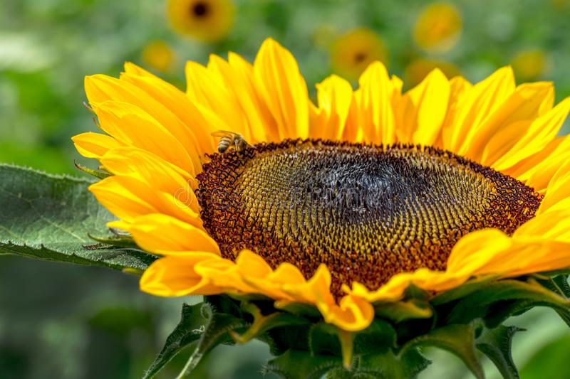 Golden sunflower head glows in the afternoon sun stock images