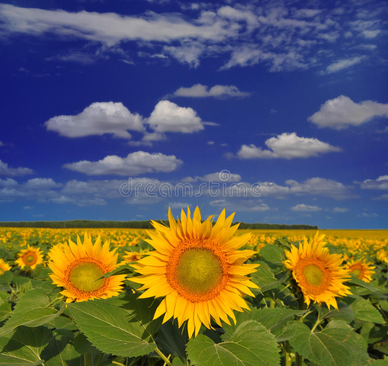 Free Golden Sunflowers Stock Photography - 15460002