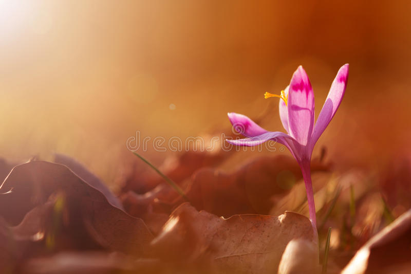 Golden sunlight on beautiful spring flower crocus growing wild. Amazing beauty of wild flowers in nature.  stock images