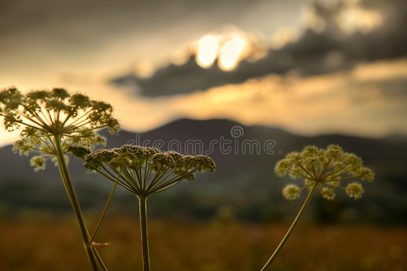 Golden sunset in carpathian mountains - beautiful summer landscape, wildflowers closeup, dark cloudy sky and bright sun light royalty free stock image