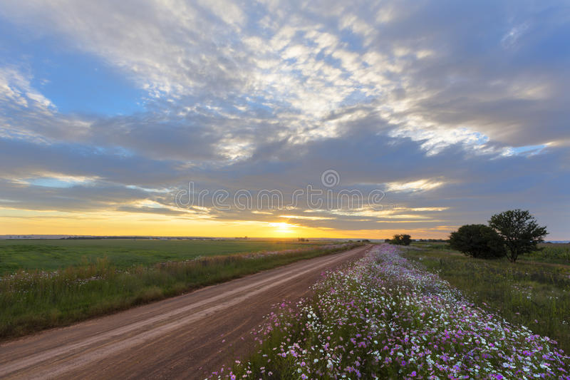 Golden sunset and cosmos flowers stock images