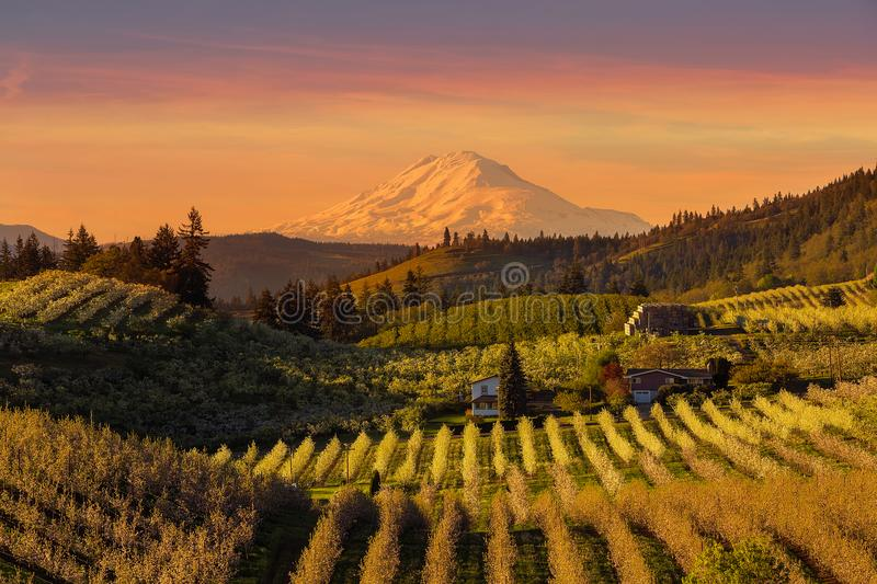 Golden Sunset over Hood River Pear Orchard in Oregon springtime. Golden sunset over Mount Adams and Hood River Valley pear orchards during beautiful sunset in stock photo