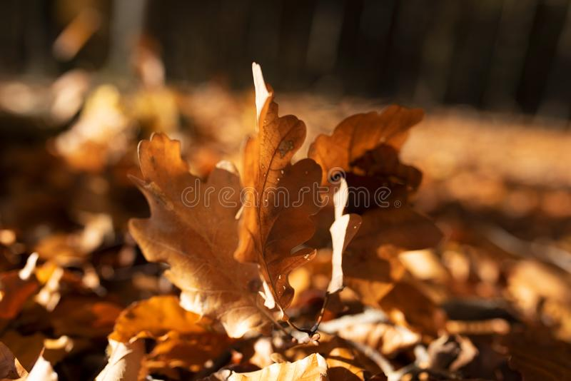 Sunshine on autumn leaves royalty free stock images