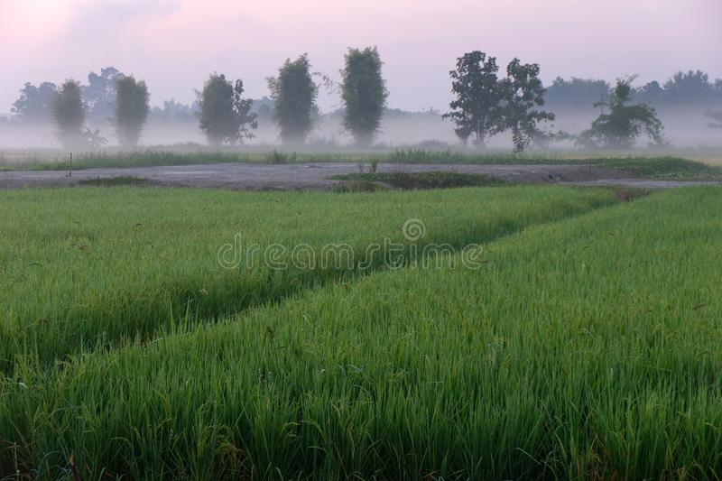 Golden sunshine light on rice paddy field in the morning. Golden sunshine light on rice paddy field in Thailand royalty free stock photography
