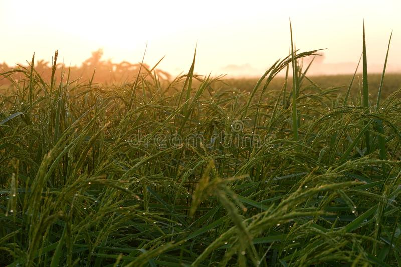 Golden sunshine light on rice paddy field in the morning. Golden sunshine light on rice paddy field in Thailand stock image
