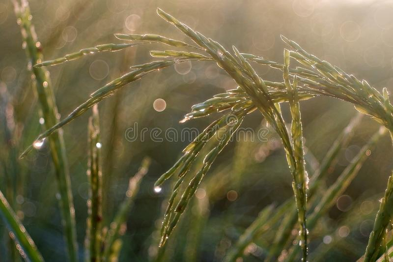 Golden sunshine light on rice paddy field in the morning. Golden sunshine light on rice paddy field in Thailand royalty free stock photos