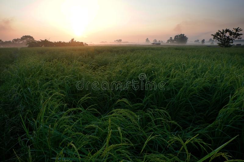 Golden sunshine light on rice paddy field in the morning. Golden sunshine light on rice paddy field in Thailand royalty free stock image