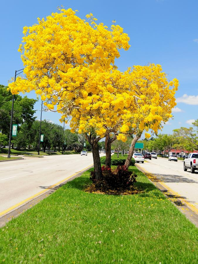 Golden tabebuia tree in full bloom in median florida stock image download golden tabebuia tree in full bloom in median florida stock image image of mightylinksfo