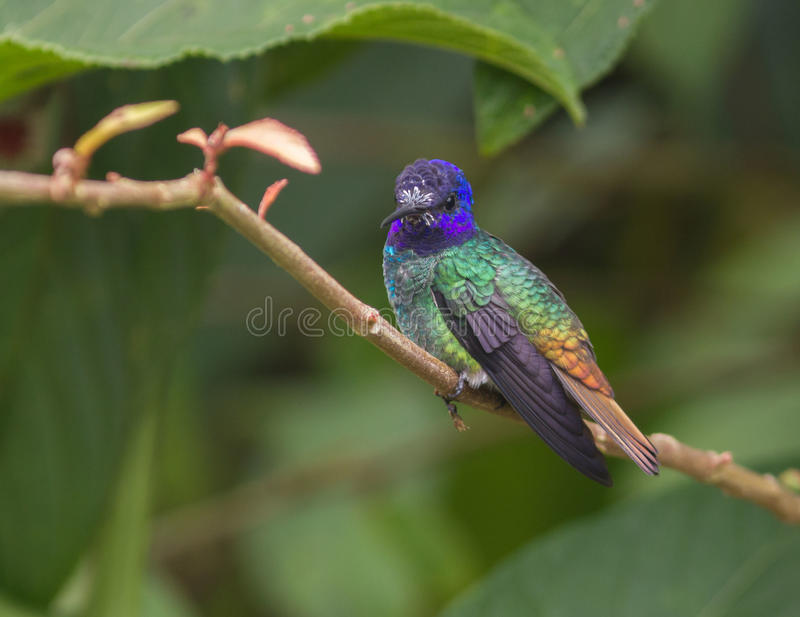 Golden-tailed Sapphire (Chrysuronia oenone) stock images