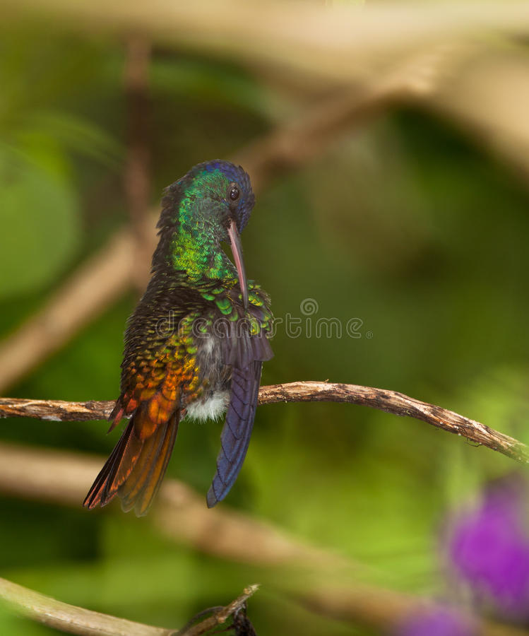 A Golden-tailed Sapphire cleaning it´s plumage stock images