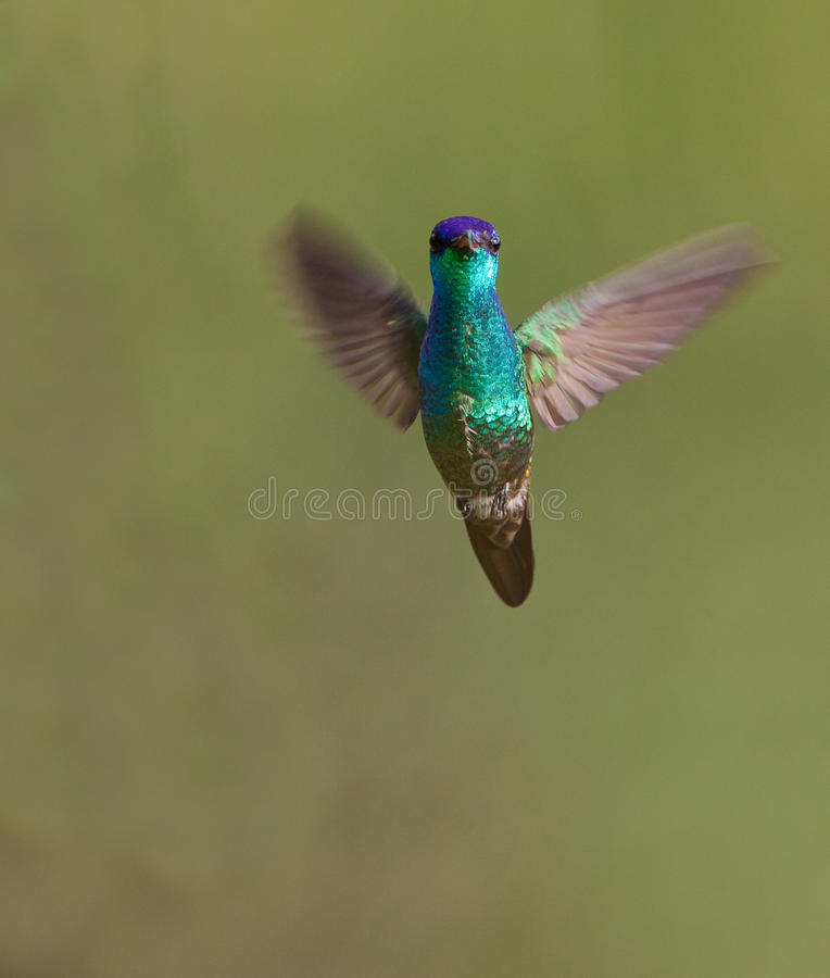 Golden-tailed Sapphire in flight. A Golden-tailed Sapphire Hummingbird (Chrysuronia oenone) seen from the front in hovering flight royalty free stock photo