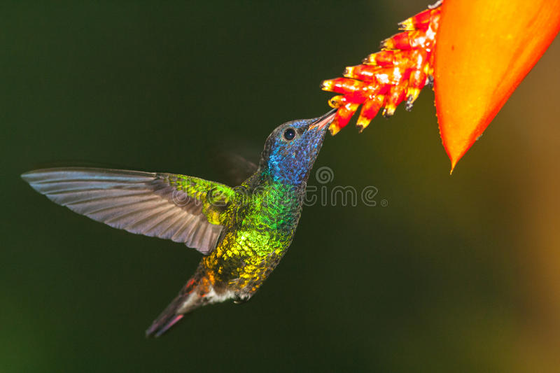 Download Golden-tailed Sapphire In Hover Suckling Stock Image - Image: 60081077
