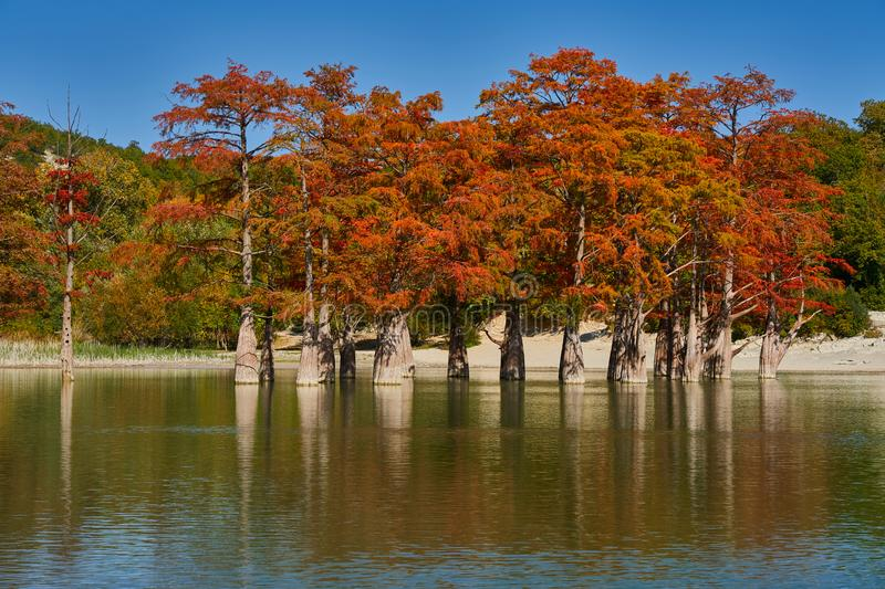 Golden Taxodium distichum stand in a gorgeous lake against the backdrop of the Caucasus mountains in the fall. Autumn. October. Su stock photos