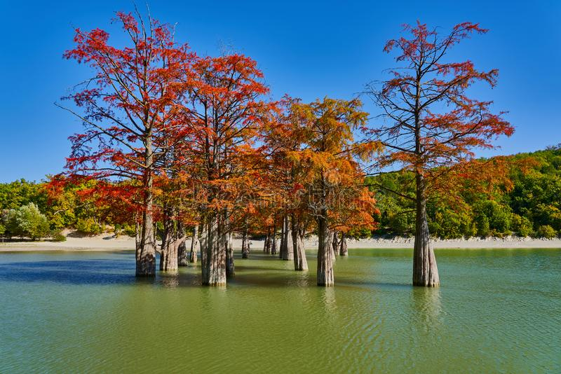 Golden Taxodium distichum stand in a gorgeous lake against the backdrop of the Caucasus mountains in the fall. Autumn. October. Su stock image