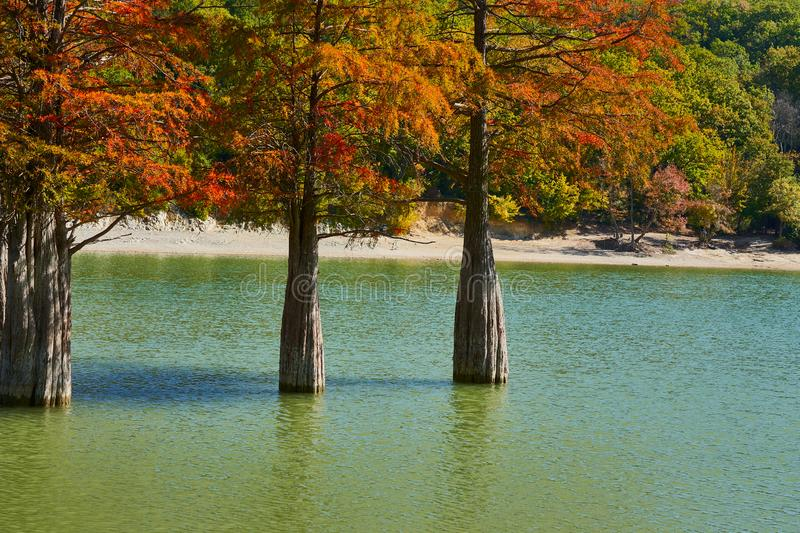 Golden Taxodium distichum stand majestically in a gorgeous lake against the backdrop of the Caucasus Mountains in the fall. Autumn stock photo