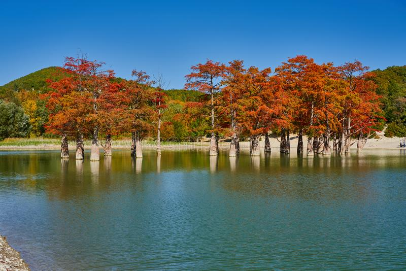 Golden Taxodium distichum stand majestically in a gorgeous lake against the backdrop of the Caucasus Mountains in the fall. Autumn royalty free stock photography