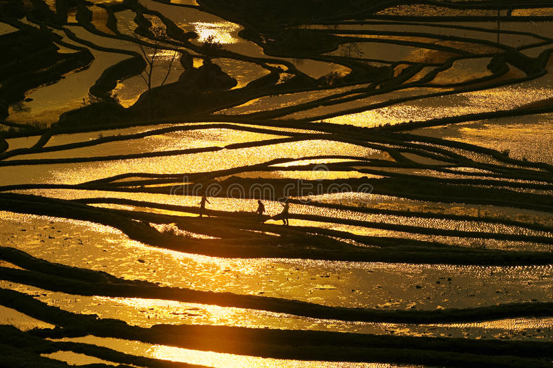 Golden Terrace. This picture is photographed in Yuanyang,YunNan, China on Feb this year. In this time, The Hani people watering and filling in terrace. The water royalty free stock photography