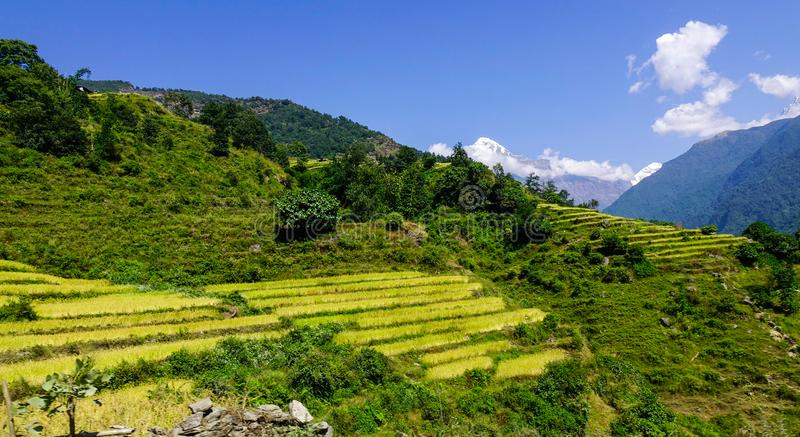 Golden terraced rice or paddy field. At sunny day in Pokhara, Nepal royalty free stock photos
