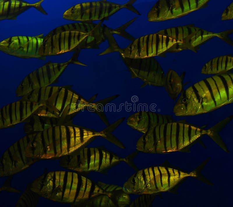 Golden Tiger Fish School royalty free stock image