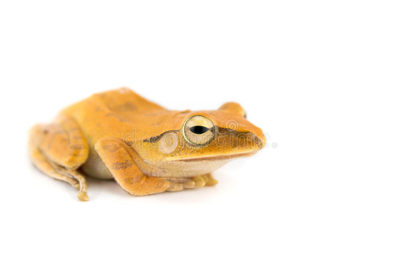 golden tree frog royalty free stock photo