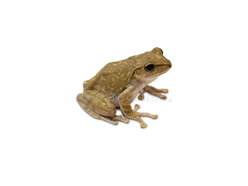 Golden Tree Frog isolated on white background. Clipping path stock photo