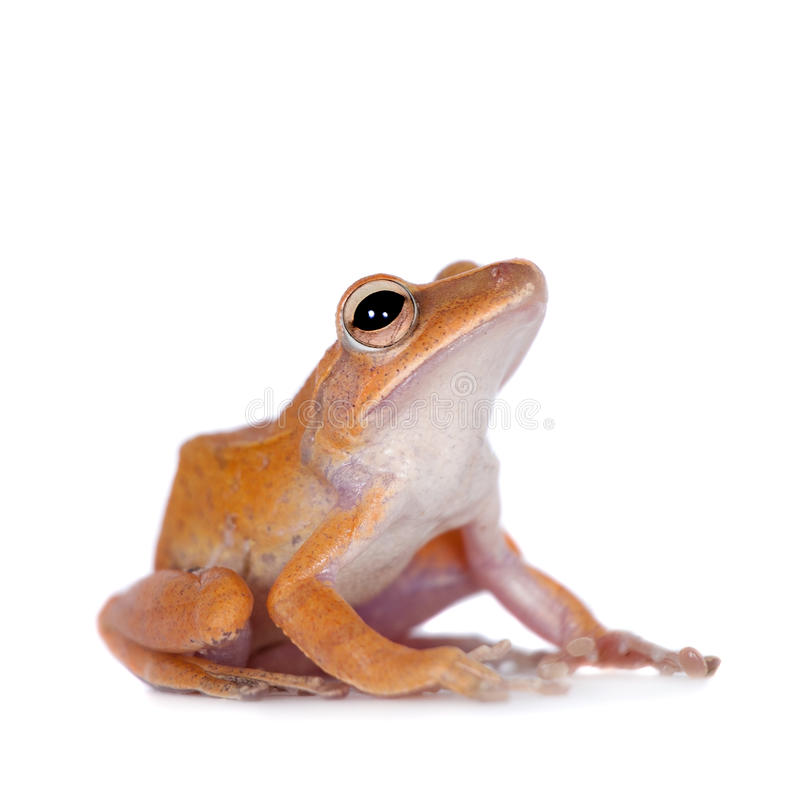 The golden tree frog on white. The golden tree frog, polypedates leucomystax, isolated on white background stock images