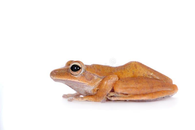 The golden tree frog on white. The golden tree frog, polypedates leucomystax, isolated on white background stock photos