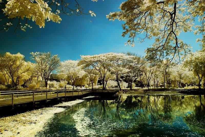 Golden tree garden beside lake and bridge. Taken at ITS-Campus lake, Surabaya, Indonesia royalty free stock photo