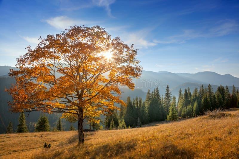 Golden Tree in Mountains valley, autumn season landscape. Golden Tree with sunbeams in Mountains valley, fall season landscape stock images