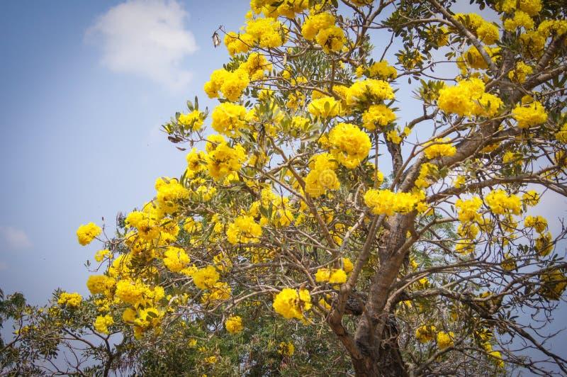Golden tree with yellow flowers cochlospermum regium stock image download golden tree with yellow flowers cochlospermum regium stock image image of amazing flowers mightylinksfo