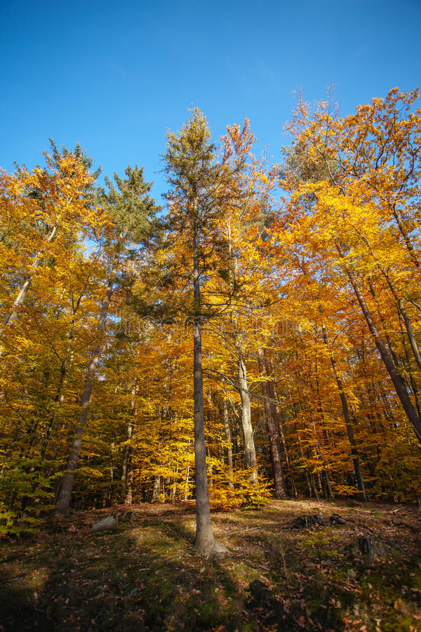 Golden trees in the autumn forest stock photo