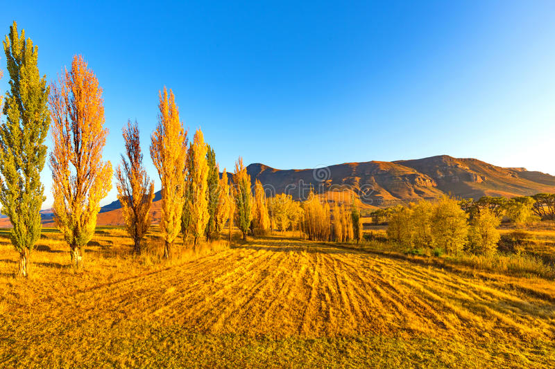 Golden trees at golden hour royalty free stock images
