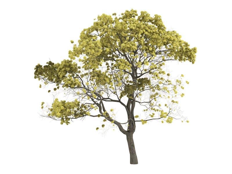 Golden_trumpet_tree_ (Tabebuia_chrysantha) stock de ilustración