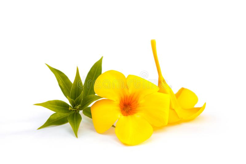 Golden trumpet or yellow bell. royalty free stock image