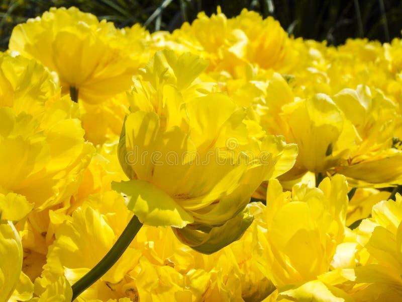 Golden Tulip kwiatu Shengkaigaoqing fotografii fotografia zdjęcie stock