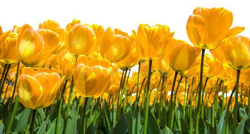 Golden tulips stock photography