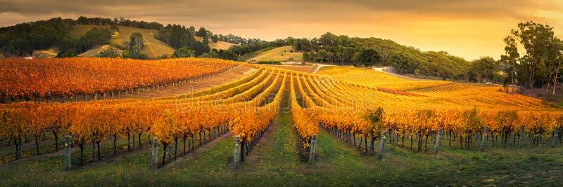 Golden Vines stock image