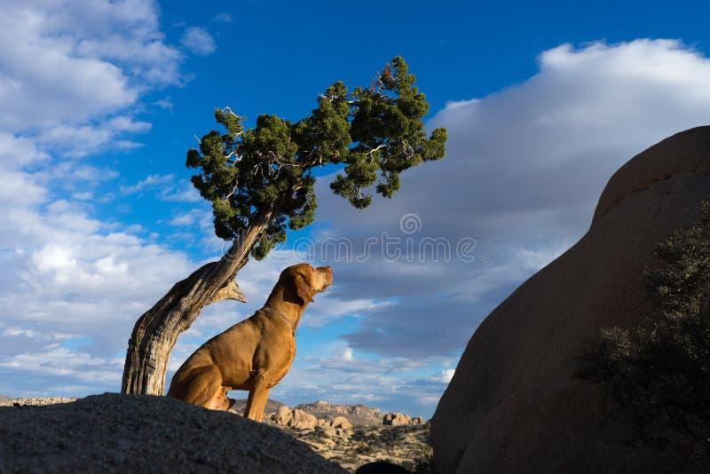 Golden vizsla dog sitting under tree stock photos