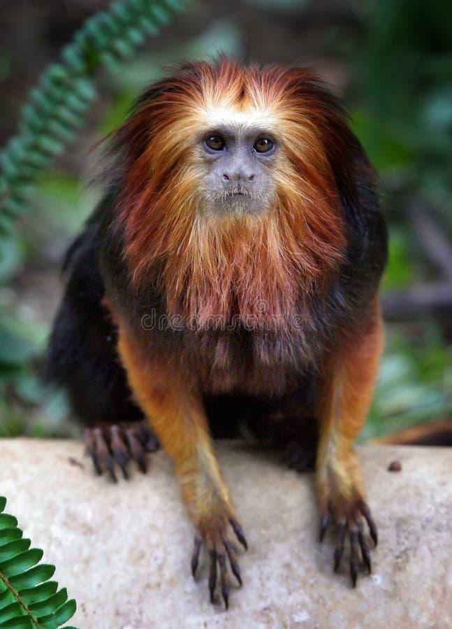 Golden-vorangegangener Löwe Tamarin lizenzfreies stockfoto
