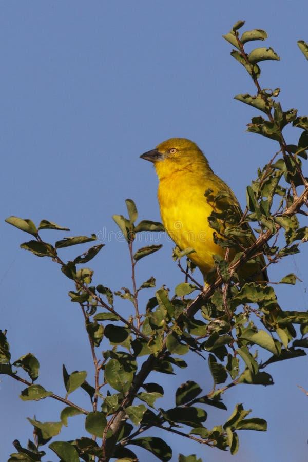 Golden Weaver - Botswana. Golden Weaver in Chobe National Park in Botswana stock photography