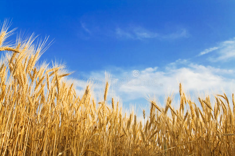 Download Golden wheat stock photo. Image of flour, harvesting - 14856170
